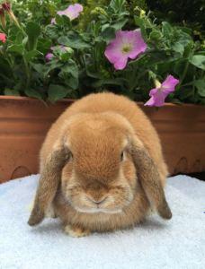 Trixie- orange mini lop doe