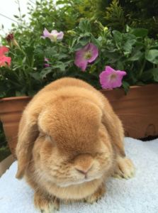 Faye - orange mini lop doe