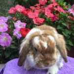 Felix - orange butterfly mini lop buck