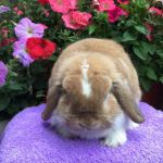 Jeremy - orange butterfly mini lop buck
