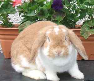 Scottish Dwarf Lops and Mini Lops  - Useful rabbit information links