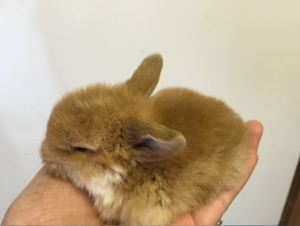 Tiny orange mantle baby mini lop