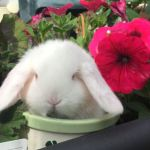 White baby mini lop