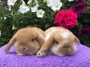 Orange and orange butterfly baby mini lops