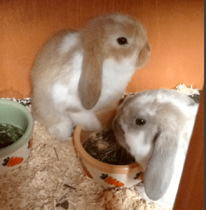 mini lop Coco & Pebbles