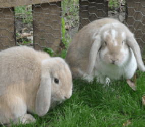 mini lop Milly & Lola