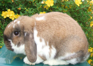 Jemina Dwarf Lop - Useful rabbit information links