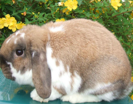 mini lop rabbit and dwarf lop rabbit
