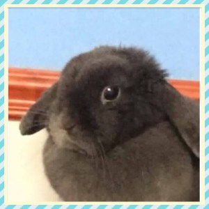 Blue mini Lop