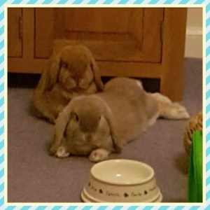 Baby Mini Lops in Dunfermline