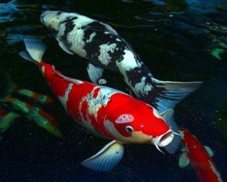 koi-fish-profile