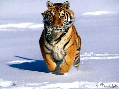 tigre02