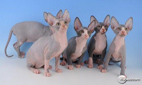 Sphynx Kittens 28.02.2008 007 a