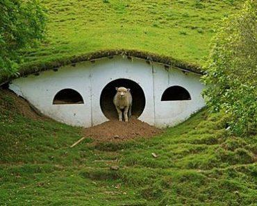 Casas dos Hobbits do filme 'Senhor dos Anéis' foram assumidas por ovinos