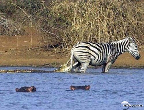 oh-zebra