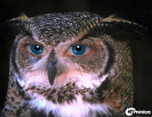 Blue-Eyed-Owl--21585