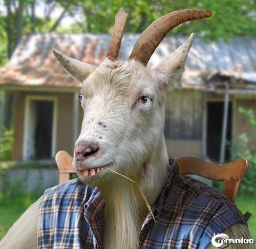 Hillbilly-Goat--21630