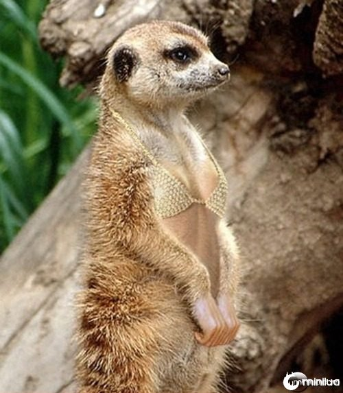 Meerkat--21637