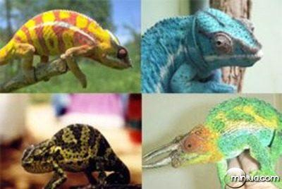 Why-Do-Chameleons-Change-Color-2