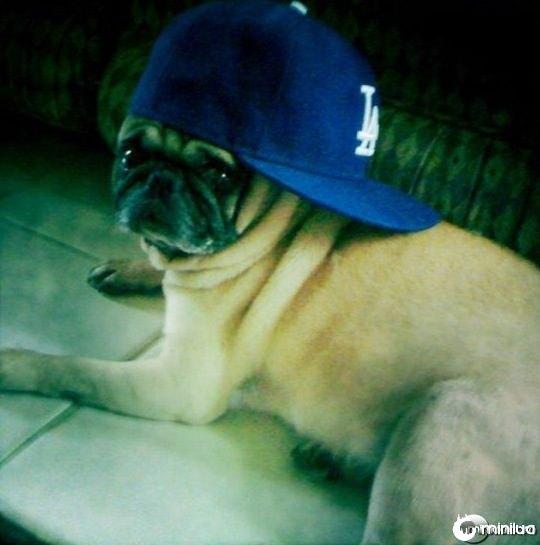gangster_pugs_640_08