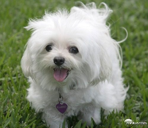 white-puppy-running-in-the-grass