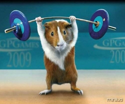Weightlifting_Guinea_Pig-1md