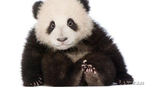 galeria-filhotes-fofos-panda