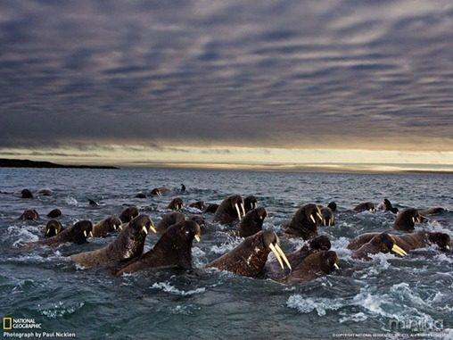 fotos da natgeo leao marinho[7]