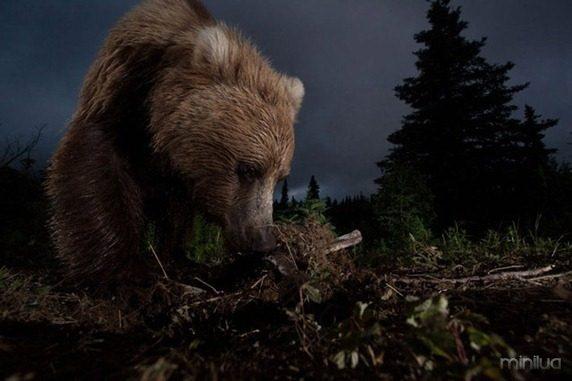 fotos da natgeo urso[3]