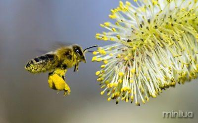 pollen-bee-flying
