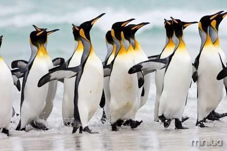 Pinguim-Rei-1