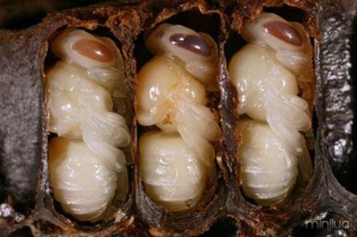 be_larvae1