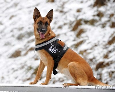 German_Shepherd_Dog_in_Lithuanian_Army
