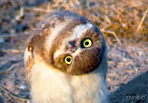 44394-owl_head