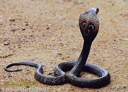 indian-cobra--naja-naja-2