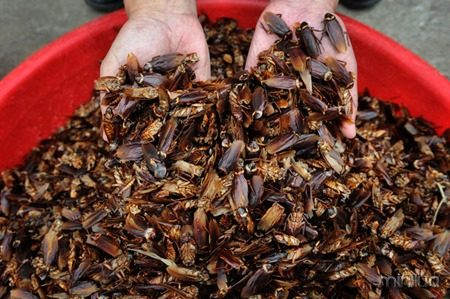 JINAN, CHINA, SEPTEMBER 27, 2013: Dried cockroaches are ready to be sold to pharmaceutical companies. (Wang Xuhua)