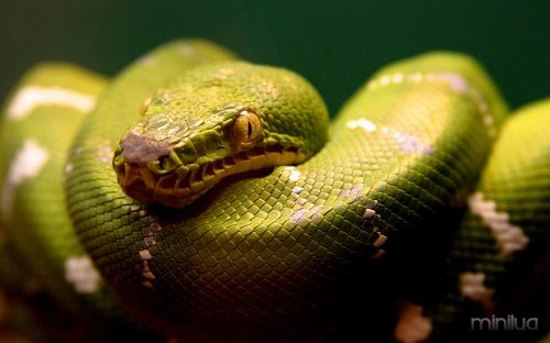 a_green_snake-wide