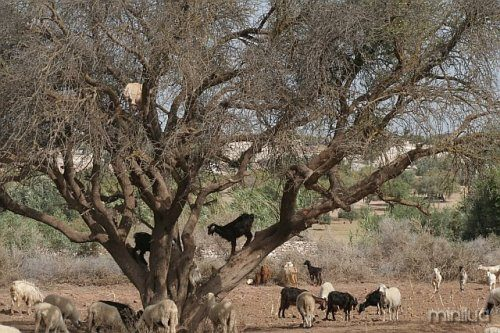 tree-climbing-goats-morocco-thesuiteworld-3
