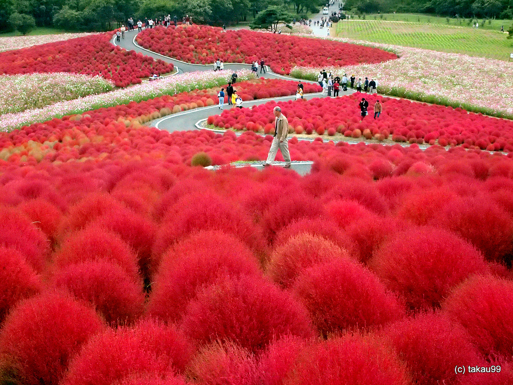 annabelkind999_hitachi-seaside-park-japan-a-scarlet-wonder13787988245141