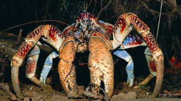 ARKive image GES008535 - Coconut crab