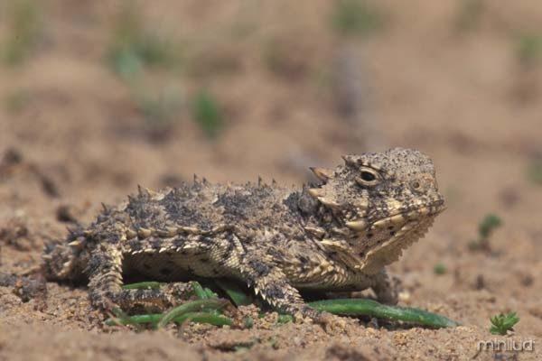 018234_coast_horned_lizard