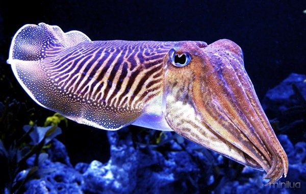 Cuddly_Cuttlefish_by_zhe_universe