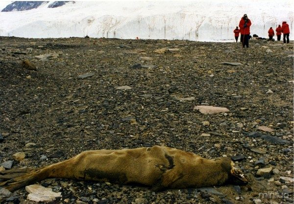 Mummified_Seal_Carcas_in_McMurdo_Dry_Valleys