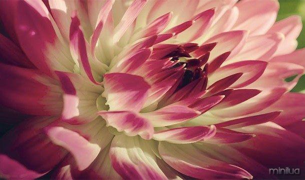 Flower crescer mais rapidamente quando eles são expostos à música