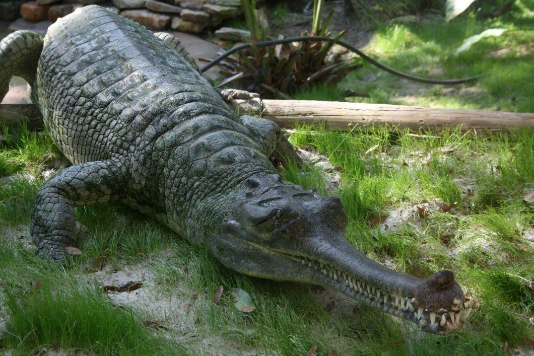 Indian_Gharial_Crocodile_Digon3