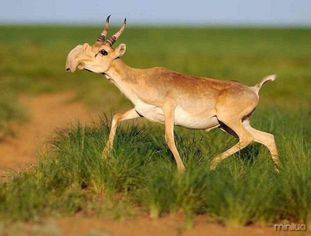 saiga-antelope-610x464