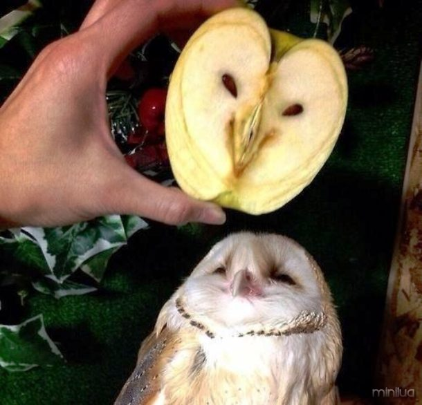 www.thepoke.co.uk cute-animal-pictures-owl-looks-like-apple