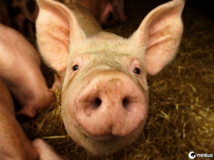 porco quimérico humano