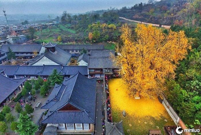 1.400 Anos Velho Ginkgo Gotas Um Tapete De Folhas De Ouro Dentro Das Paredes Do Gu Guinin Templo Budista Nas Montanhas Zhongnan Na China