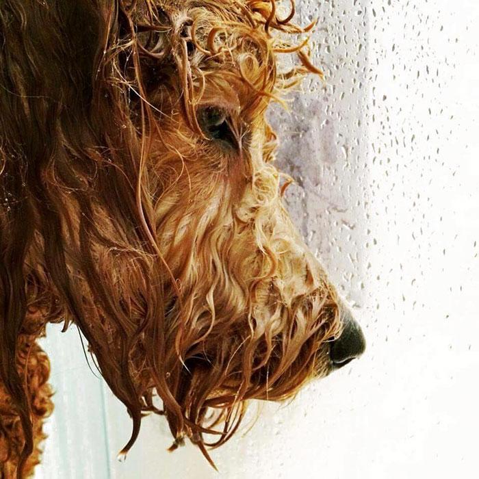 Este cão no chuveiro olha como ele sobre para deixar cair o álbum o mais quente